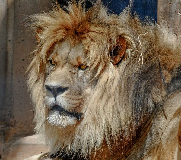 Close-up of a relaxed lion looking away
