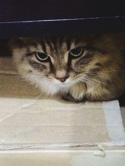 Persiancat Cat Cat♡