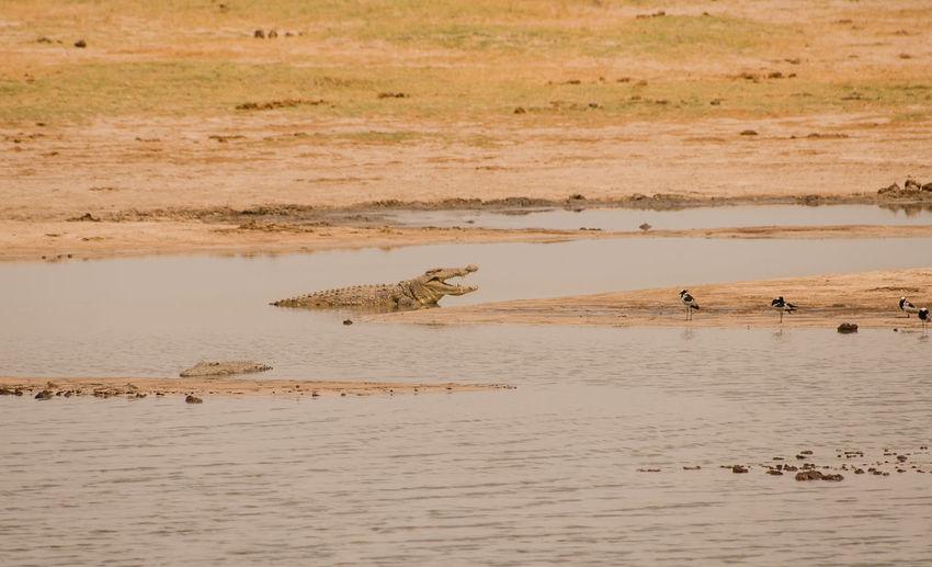 Crocodile in the savanna of in Zimbabwe, South Africa Alligator Animals In The Wild Charara Safari Area Crocodylia Gaviale Lake Kariba Zimbabwe Animal Crocodile Kariba Lake Landscape Mammal Pine Mouths Rivers Safari