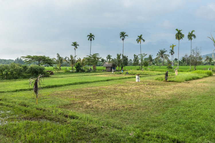 Field Grass INDONESIA Palms Rice Agriculture Cloud - Sky Day Green Color Landscape Lombok Outdoors Palm Tree First Eyeem Photo EyeEmNewHere EyeEmNewHere