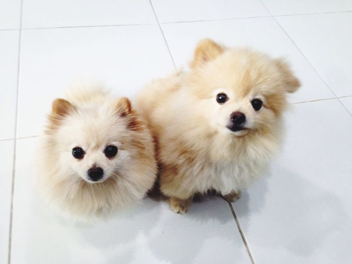 Mimi and Monmon Animal Themes Domestic Animals Pets Dog Looking At Camera Mammal Portrait Pomeranian No People Indoors  Cavalier King Charles Spaniel Dogslife Dogs Cute Pets Cute