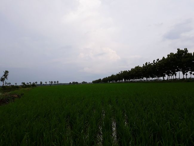 Agriculture Tree Field Cloud - Sky Nature Rural Scene Landscape Beauty In Nature Green Color Growth Rice Paddy Crop
