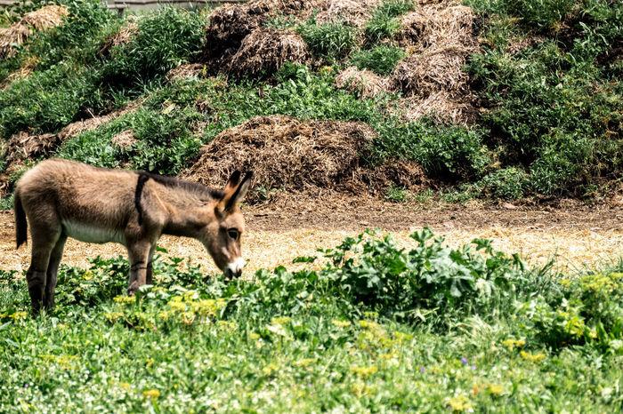 Amiatino Miccioamiatino Natura Nature Toscana Tuscany Allevamento Animal Animal Themes Animali Asinelli Asini Donkey No People