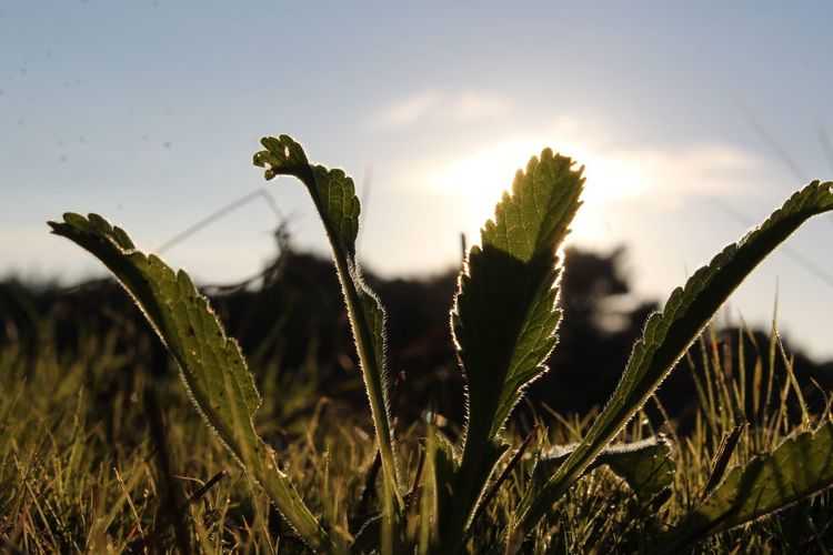 Close-up of plants growing on field against sky