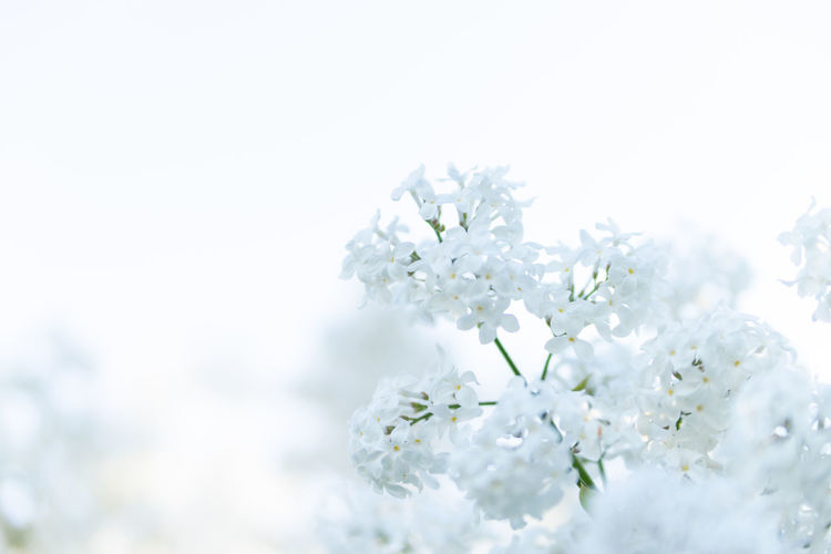 Beauty In Nature Blossom Bunch Of Flowers Cherry Blossom Close-up Copy Space Day Flower Flower Arrangement Flower Head Flowering Plant Fragility Freshness Growth Nature No People Outdoors Plant Selective Focus Springtime Tree Vulnerability  White Color