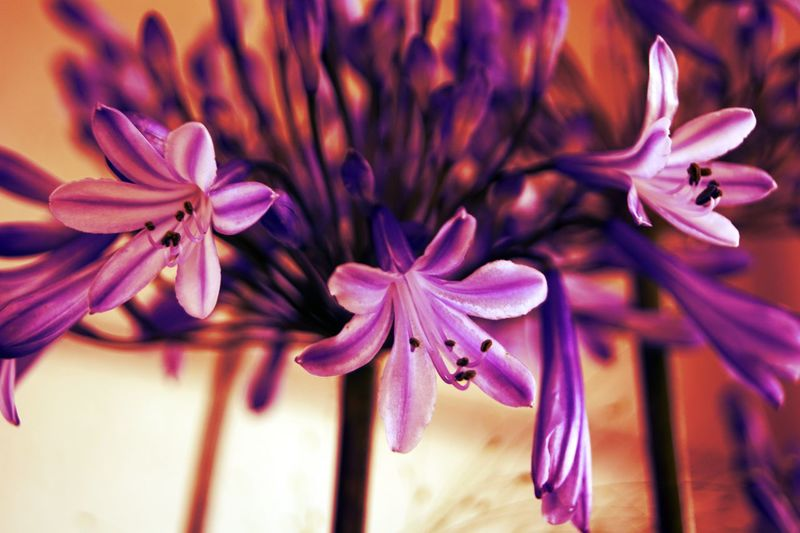 Beauty In Nature Being Creative. Expressing Myself. EyeEm Best Edits EyeEm Best Shots EyeEm Best Shots - Flowers Flower Flower Head Flowerporn Focus On Foreground Fragility Freshness My Art, My Soul... My Unique Style Oudenaarde Petal Popular Photos Purple Selective Focus Softness Sony ILCA-68K Taking Photos
