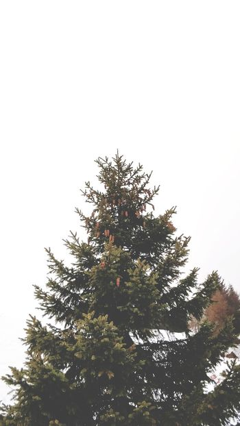 Resistance. Wintertime Branches And Sky Cold Temperature Cold Days Tree Christmas Pinaceae Sky Tree Topper Treetop Pine Woodland Evergreen Tree
