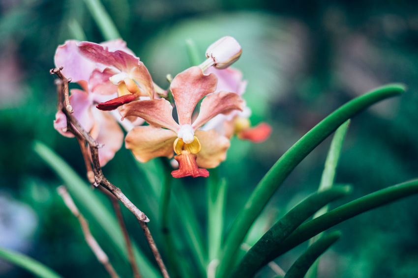 Beauty In Nature Blooming Close-up Copy Space Exotic Flower Flower Head Fragility Fragrant Freshness Gardening Green Color Growth Love Nature Orange Color Orchid Orchidaceae Outdoors Peach Color Petal Pink Color Plant Plant Care Backgrounds