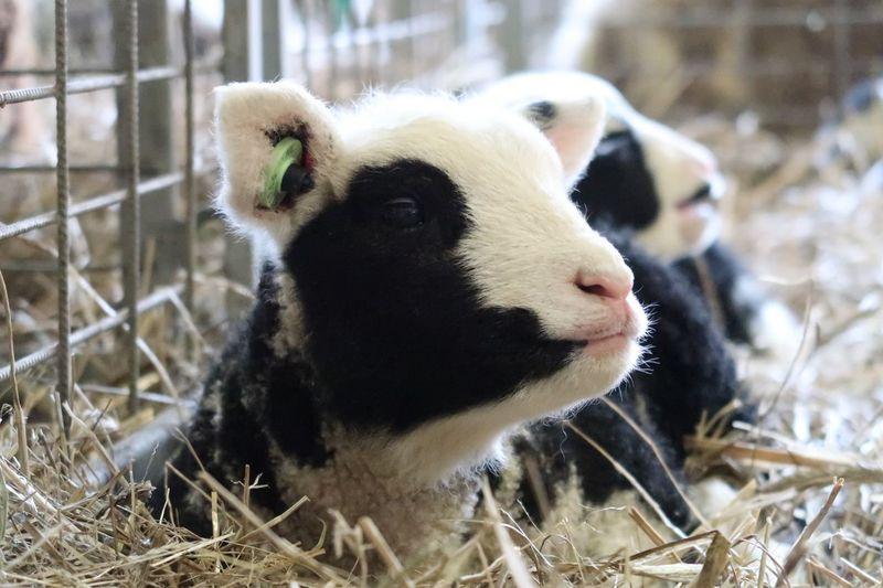 Lamb Young Animal EyeEm Selects Animal Themes