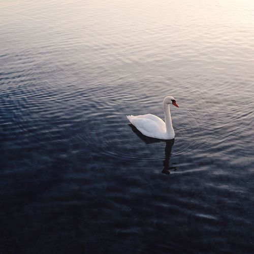 Lonely Swan at sunrise, Denmark Animal Themes Animals In The Wild Beauty In Nature Bird Calm Calm Water One Animal Quiet Moments Swan Swimming Water Water Bird White Color
