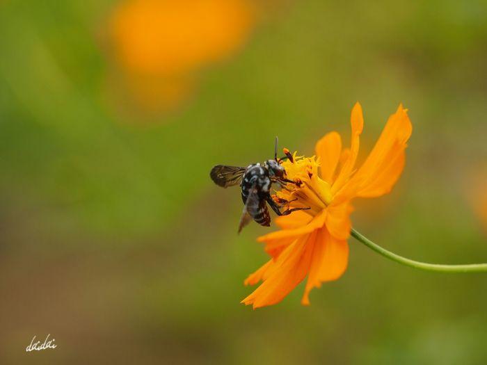 届くといいな。きみのところに。アビスパサポーターのところに。そして、ぼくのところにも。 E-PL3 Flower Cosmos キバナコスモス Bee Blue Bee ルリモンハナバチ 幸せを呼ぶ青い蜂 Noedit Bokeh