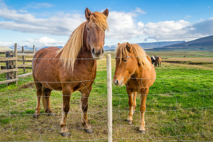 An adult and juvenile Icelandic horses in a field in rural Iceland. Animal Themes Blue Brown Cloud Cloud - Sky Day Domestic Animals Field Full Length Green Color Herbivorous Horse Landscape Livestock Mammal Mane Nature Non-urban Scene Pasture Ranch Sky Standing Two Animals Working Animal Zoology