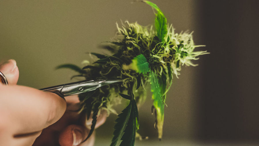 Cropped image of person holding cannabis plant at home