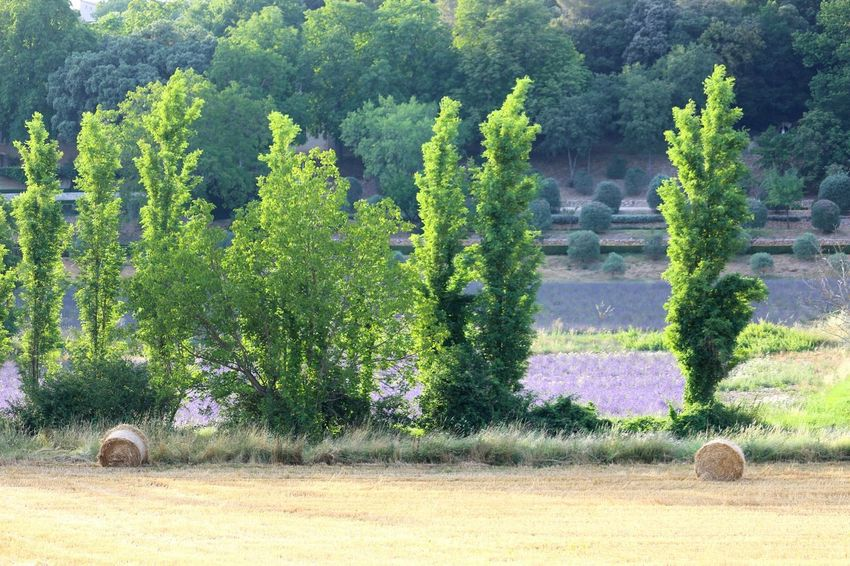 Tree Green Color Champs Beauty In Nature Agriculture Valley Tree Arbres Nature Plant Provence Lavande Lavender Rouleau BLE Paille Foin