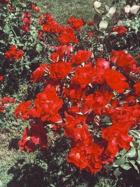 Rosé Rosé Roses Rose - Flower Roses Are Red Red Flower Flowers Flowerporn Flower Collection Vscocam Hi! Hello World VSCO Vscogood VSCO Cam Vscorose Vscored Vscoflowers