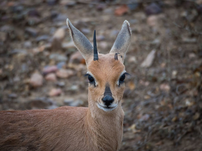 Close-up portrait of steenbok antelope, kruger national park, south africa