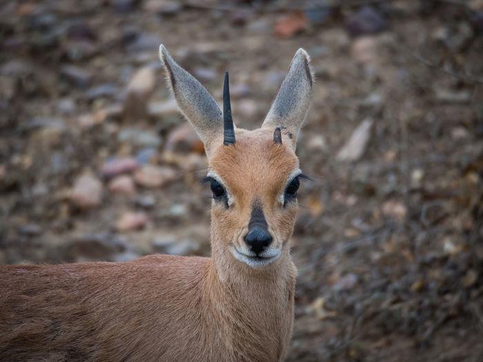 Close-Up Portrait Of Steenbok Antelope, Kruger National Park, South Africa