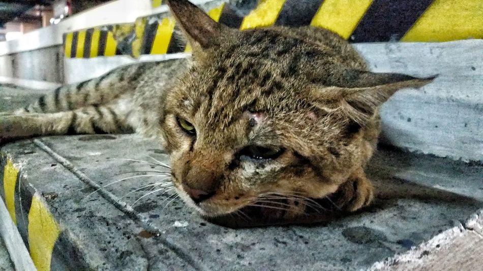casualty of war Cat Cat Fight Injured Bitten Exhausted Tired Animal Caterday Hazard Hazard Stripe Ladder Scar Wound Animals