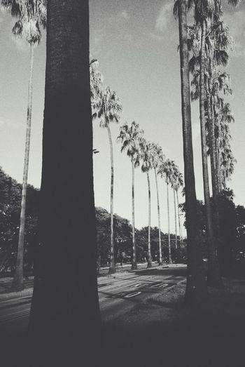 Palm Trees Avenida Osvaldo Aranha Streetphotography Brazil