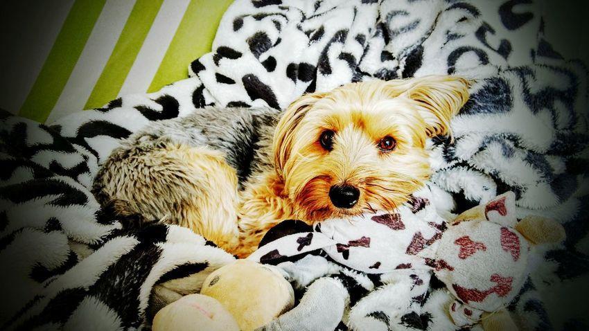 Lovepet Dog One Animal Animal Themes Pets Domestic Animals Resting Yorkshire Yorkshire Terrier Yorkie ♥ YorkieBestShots First Eyeem Photo