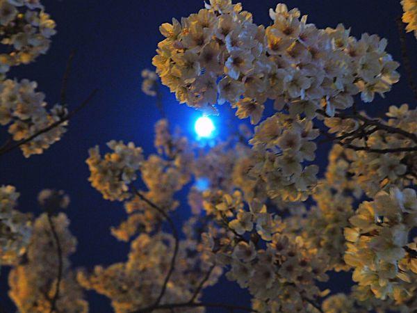 Nature Beauty In Nature Growth Tree Night Moon Cherry Blossom Cherry Tree Sakura 桜 Yozakura 夜桜 Nightphotography Springtime Japanese Landscape Japanese Photography Blooming Blossom Tokyo,Japan Olympus Om-d E-m10