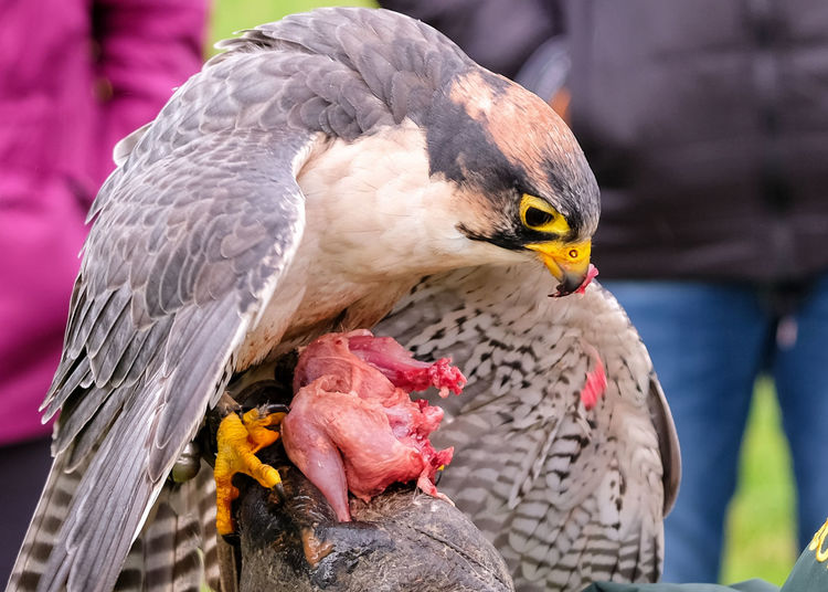 Falconry Animal Animal Themes Animal Wildlife Animals In The Wild Beak Beauty In Nature Bird Close-up Day Focus On Foreground Nature No People One Animal Outdoors Parrot Perching Sunlight Vertebrate