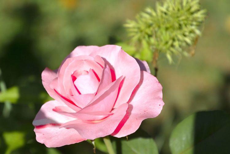 Rose rosa Blume