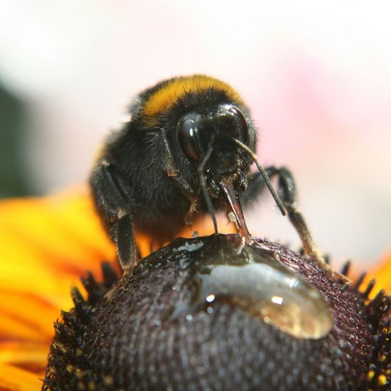 Close-Up Of Bumblebee Pollinating On Coneflower