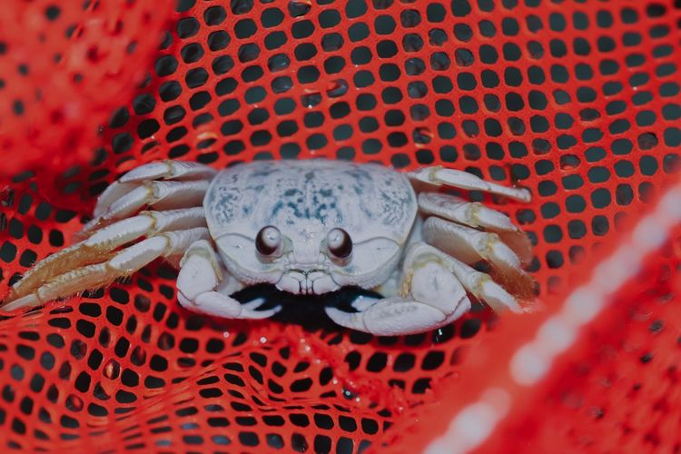 Crab in net Sea Life Net Crustacean Crab Red No People Close-up Seafood Animal Themes One Animal