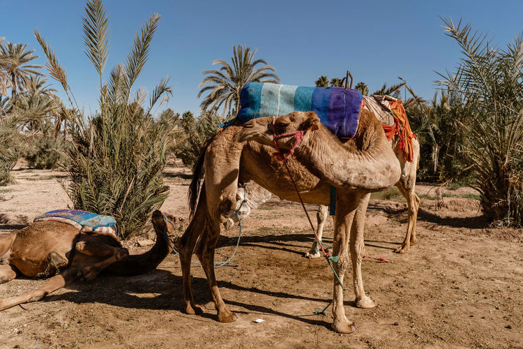 Marrakesh Marrakech Tourist Attraction  Travel Destinations Travel Photography Morocco Domestic Animals Mammal Camel Animal Themes Domestic Land Animal Desert Livestock Sand Working Animal Day Group Of Animals Saddle Sunlight Plant No People Outdoors Arid Climate