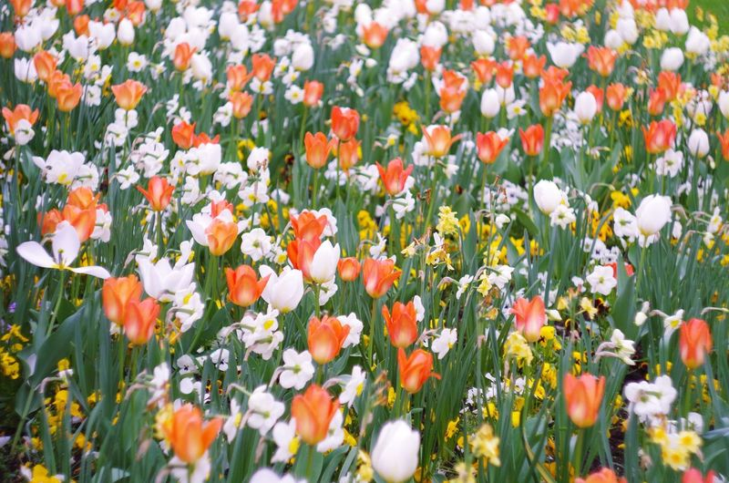 flowers Abundance Backgrounds Beauty In Nature Blooming Day Field Flower Flower Head Flowerbed Fragility Freshness Growth Nature No People Orange Color Outdoors Petal Plant Poppy Selective Focus Springtime Tranquility Tulip Vibrant Color Yellow