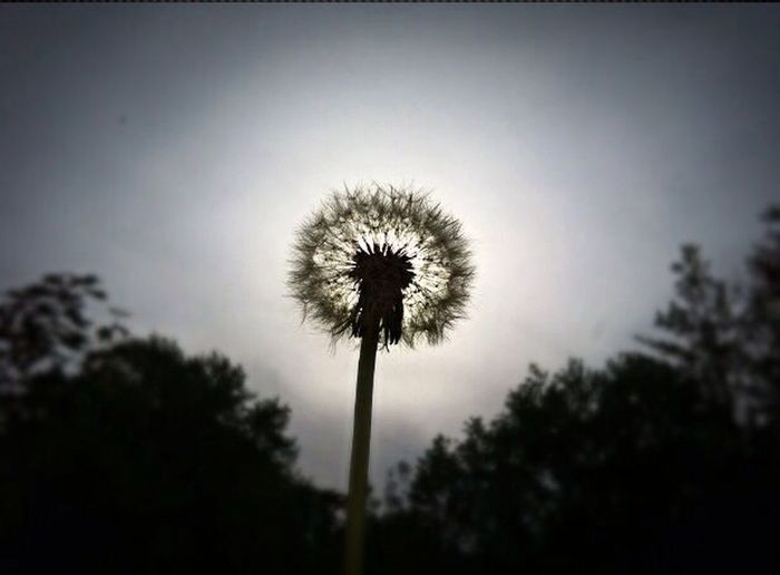 Dandelion No Filter, No Edit, Just Photography Sky_collection Woods No Sun Today Cloudy Day IPhoneography Eyeemphotography Eyeem Collection Blurry Background Forestwalk Nature Blackandwhite Photography EyeEm Summer Beginnerphotographer Monochrome Photography Focus Object The City Light The Photojournalist - 2017 EyeEm Awards BYOPaper!