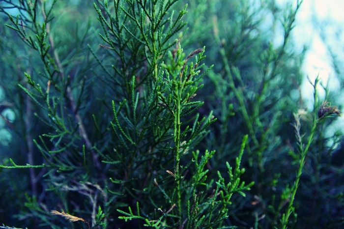 Green Growth Nature Cedar Cedar Tree Close-up Frosty Greenery Outdoors Outside The Week On EyeEm Perspectives On Nature Shades Of Winter