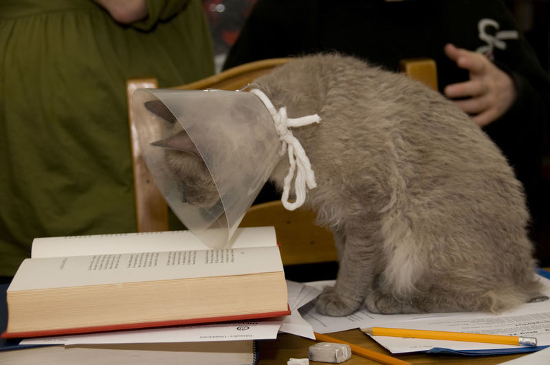 Book Books Cat Cat Reading A Book Cats Comfortable Curiosity Funnel Funnel Collar Funny FUNNY ANIMALS Home Interior Indoors  La Perm La Perm Cat Lamp Lampshade LaPerm One Animal Pets Read Reading Relaxing Shade Sitting