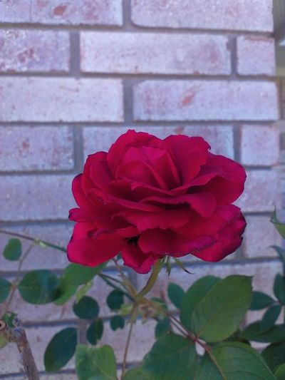 Bold And Beautiful Brick Wall EyeEm Nature Lover Beauty In Nature Blooming Bold Bold Red Flower Collection Nature_collection Red Red Rose