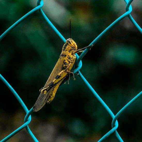 Close-Up Of Grasshopper On Chainlink Fence