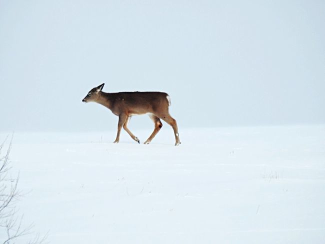 Snow Cold Temperature Winter Nature Animal Themes Weather Field Clear Sky Animals In The Wild Full Length One Animal Day Mammal Outdoors No People Beauty In Nature Landscape Sky Deer