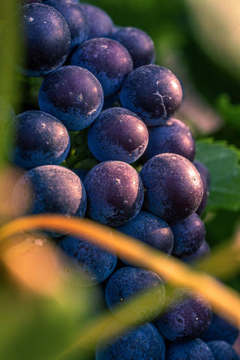 Close-up of wet grapes