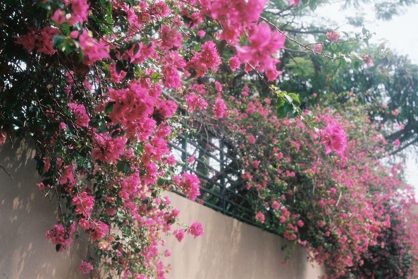 35mm Film Film EyeEm Best Shots Analogue Photography Hawaii Pink Flower Flowers Sunny Day