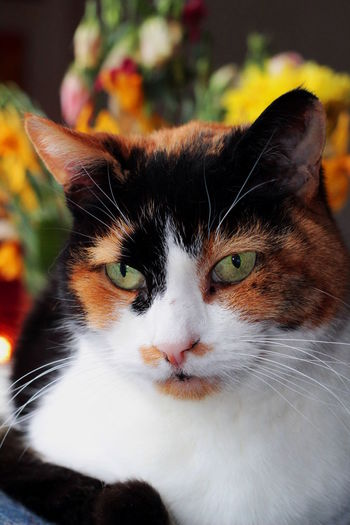 Calico Kitten Animal Animal Body Part Animal Eye Animal Head  Animal Themes Calico Cat Calico Cats Are Special Cat Close-up Domestic Domestic Animals Domestic Cat Feline Focus On Foreground Looking Looking At Camera Mammal No People One Animal Pets Portrait Snout Vertebrate Whisker Yellow Eyes