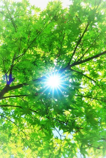 初夏 新緑 緑 葉っぱ もみじ 太陽 光 春 Summer Spring Tree Growth Nature Sun Beauty In Nature Sunbeam Lens Flare Green Color Freshness Sunlight 写真好きな人と繋がりたい EyeEm Nature Lover EyeEm Best Shots Beauty In Nature 写真好き
