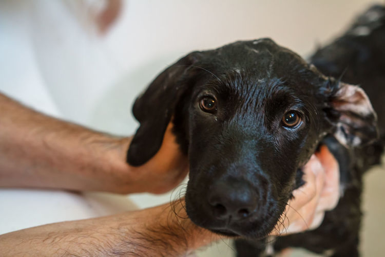 Cropped hands of person cleaning black labrador in bathtub