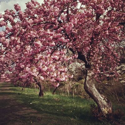 Cerryblossomtrees PrettyInPink Changingseason Pink Pretty Spring Njinstagramer Dailydose Color