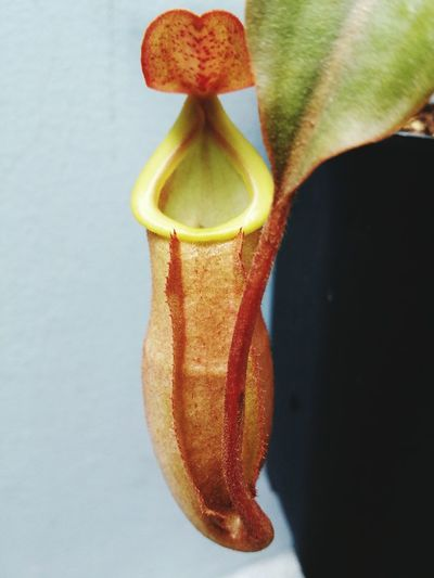 Nepenthes  Mira X Veit Bario Nature