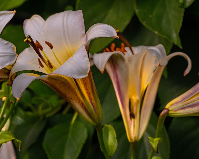 Sunset in a Garden Outdoors Sunset Evening Flower Flower Head Beauty In Nature No People Close Up Nature Summer Summer Time  Plant Growth Flowering Plant Fragility Vulnerability  Focus On Foreground Close-up Freshness Petal Inflorescence Lily Plant Part Leaf Day Botany Pollen