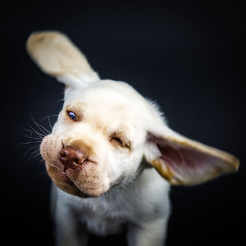 Puppie Portrait Cute Pets Studio Animal Themes Brown Close-up Color Cute Dog Domestic Animals Indoors  Mammal No People Pets Puppies Pups White