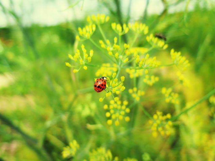 Marienkäfer Auf Fenchel Insect Nature One Animal Save The World Summer 2017 Marienkäfer Im Fenchel Botany