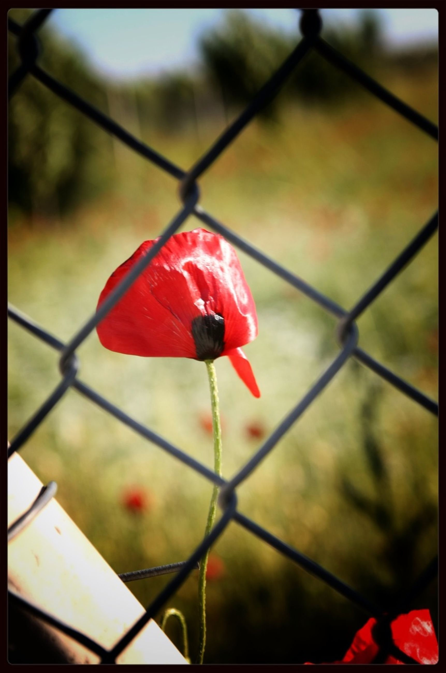 red, chainlink fence, protection, fence, focus on foreground, transfer print, safety, close-up, security, metal, auto post production filter, day, no people, plant, outdoors, nature, fragility, pattern, flower, vibrant color
