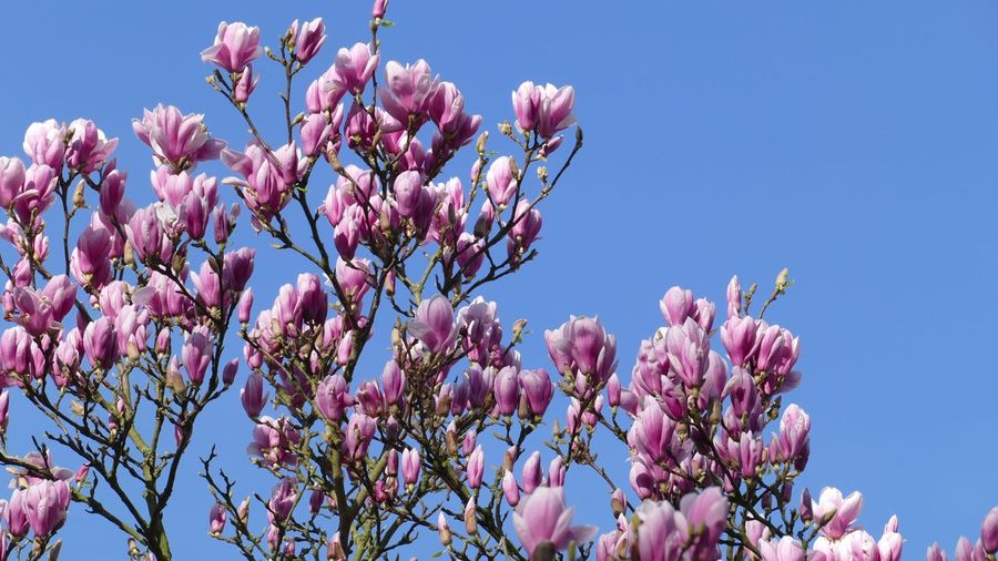 Magnolia Blossoms March 2019 Nature Backgrounds Magnolia Flower Plant Flowering Plant Sky Growth Low Angle View Fragility Beauty In Nature Freshness Blossom Tree Branch Springtime Pink Color Nature Clear Sky No People Vulnerability  Close-up Day