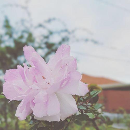 A white beauty Flower Pink Color Nature Petal Close-up Beauty In Nature Flower Head Day Freshness EyeEmSelect Aroundtheworld Enjoy Life WeekOnEyeEm Melbourne EyeEm Gallery City Street The Week On EyeEm Spring EyeEm Best Shots